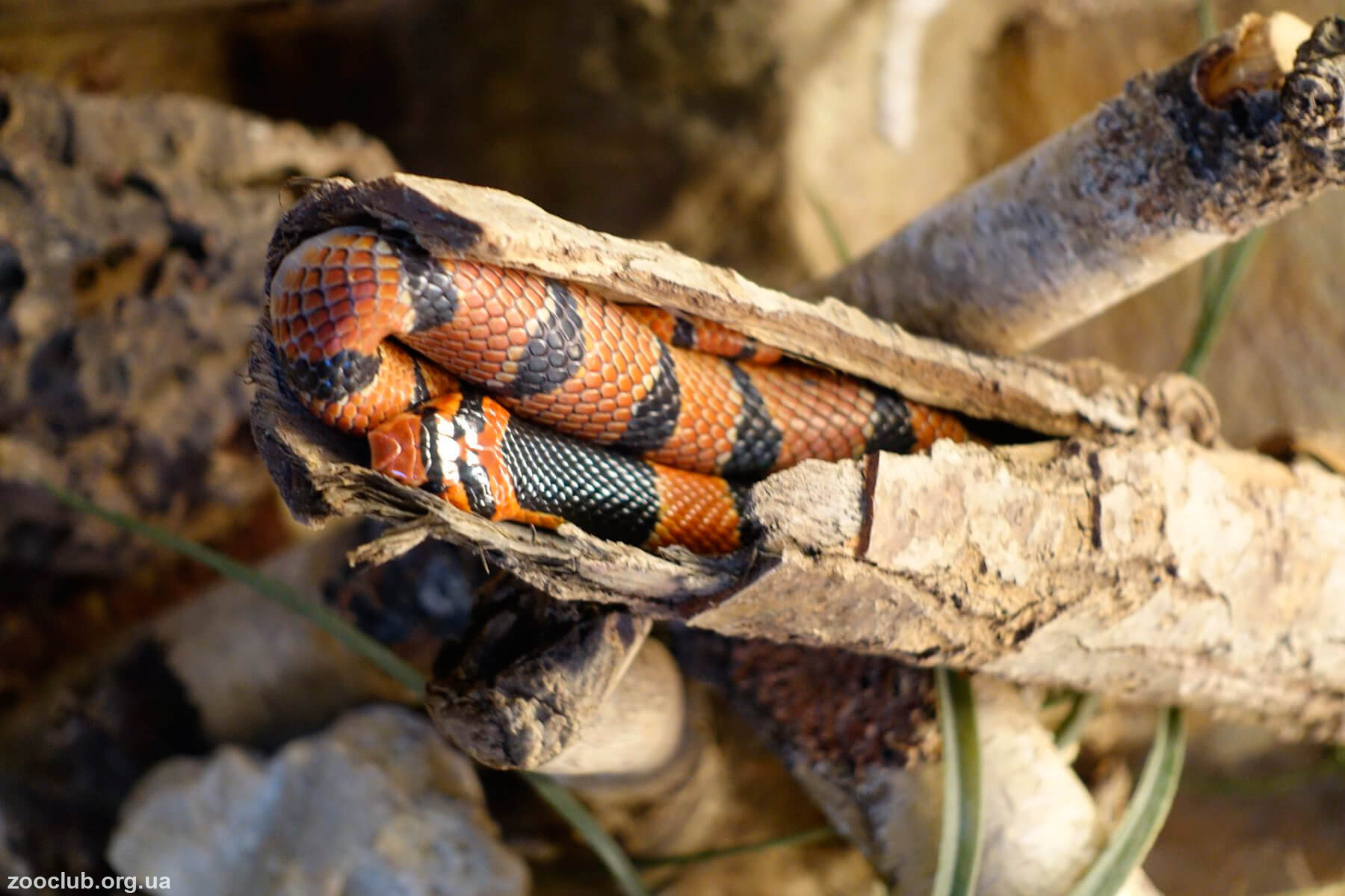 Фото южноафриканской щитковой кобры