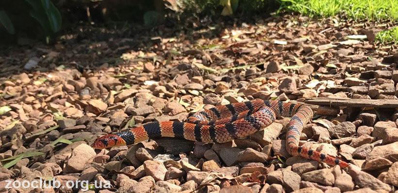 Южноафриканская щитковая кобра фото