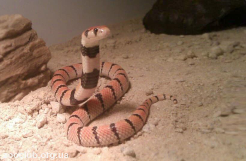 коралловая кобра фото