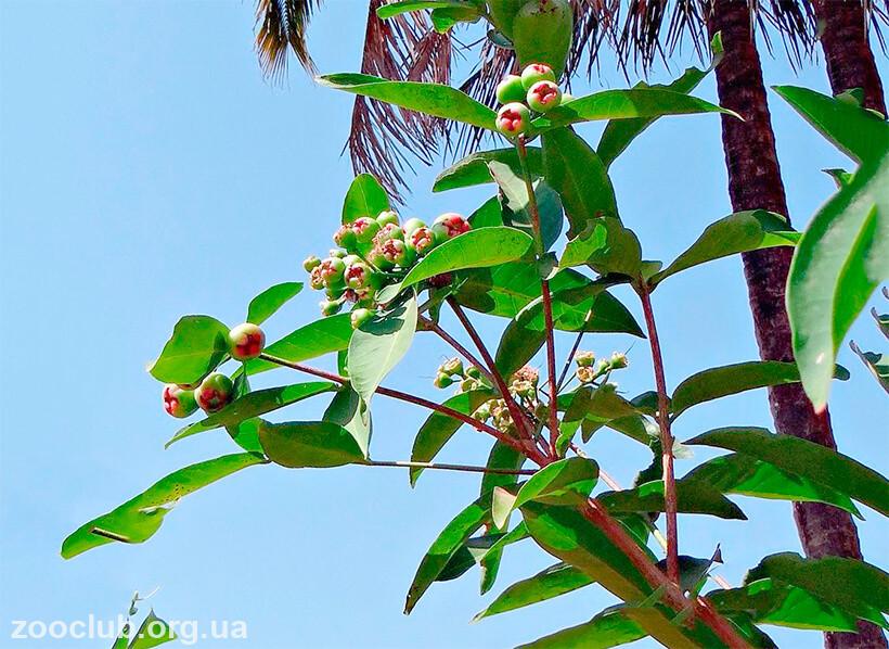 Фото малабарской сливы