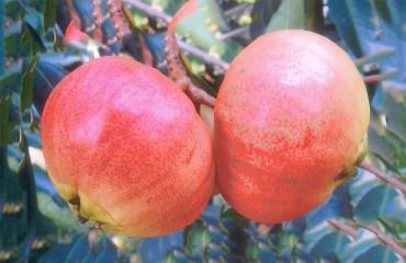 Малабарська слива, або рожеве яблуко чомпу