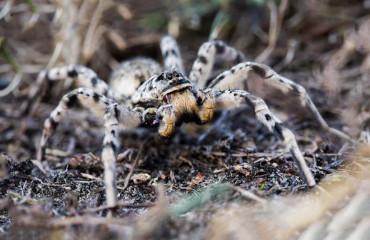 Тарантул південноруський, або волоський павук