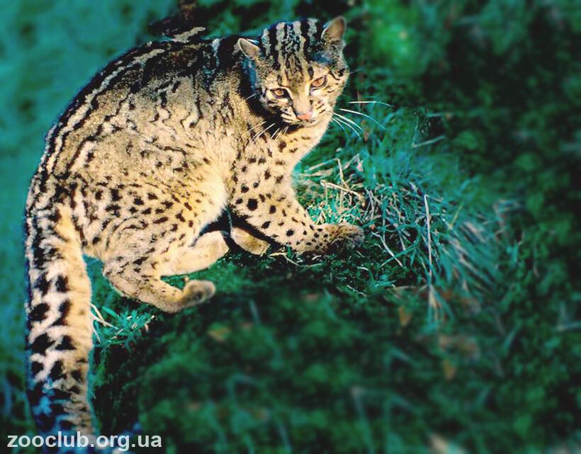 Фото мраморной кошки