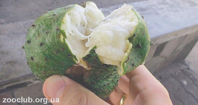 Плод гуанабаны