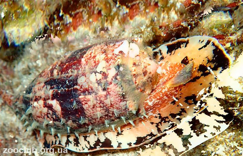 Conus geographus фото