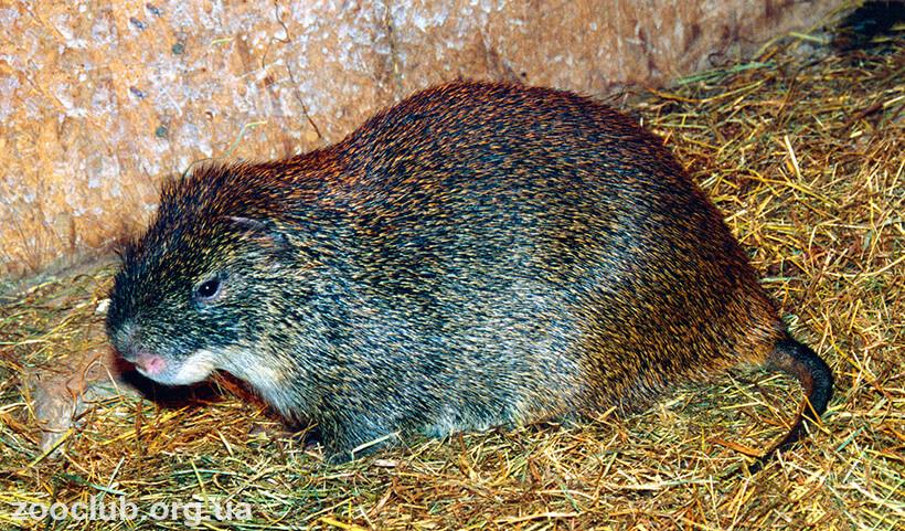 Фото большой тростниковой крысы