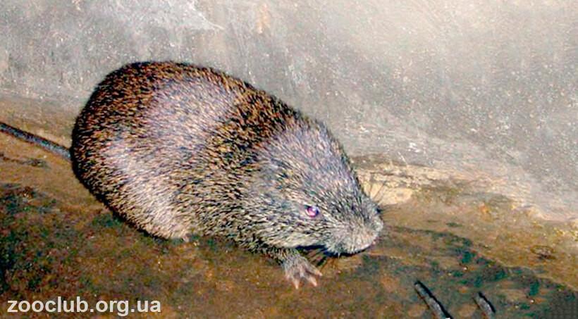 Большая тростниковая крыса фото