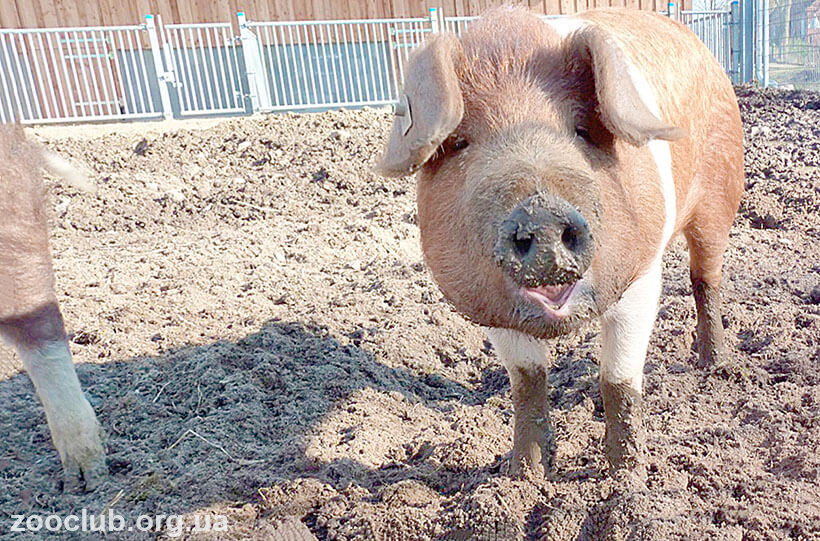 Датская протестная свинья фото