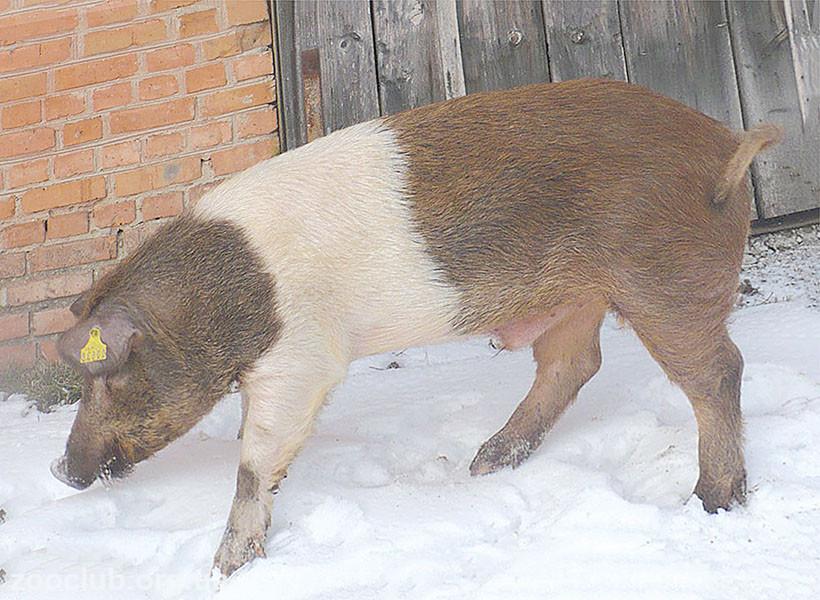 Фото красно-пестрой хузумской свиньи