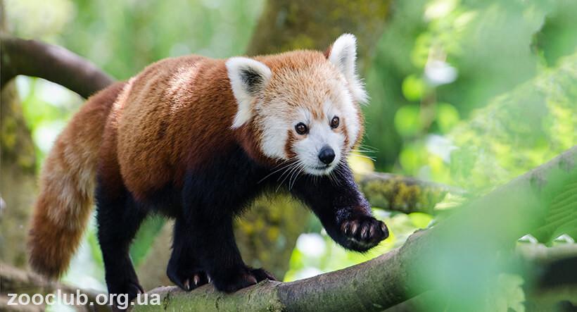 Фото малой панды