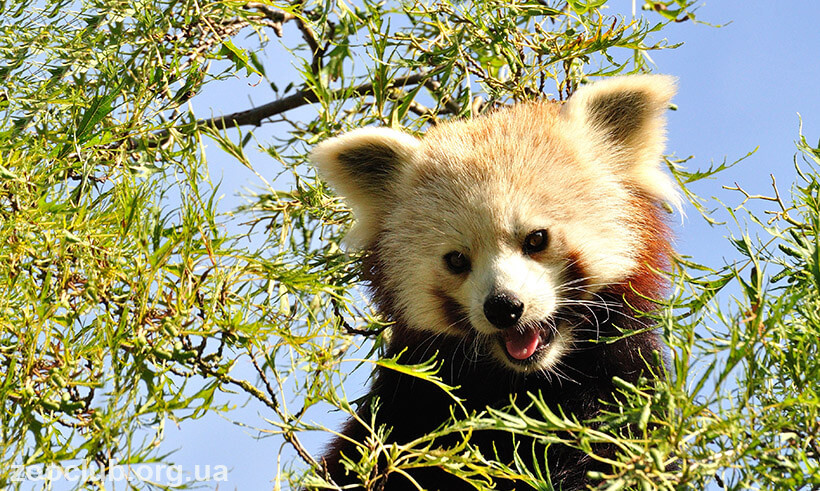 Малая панда фото