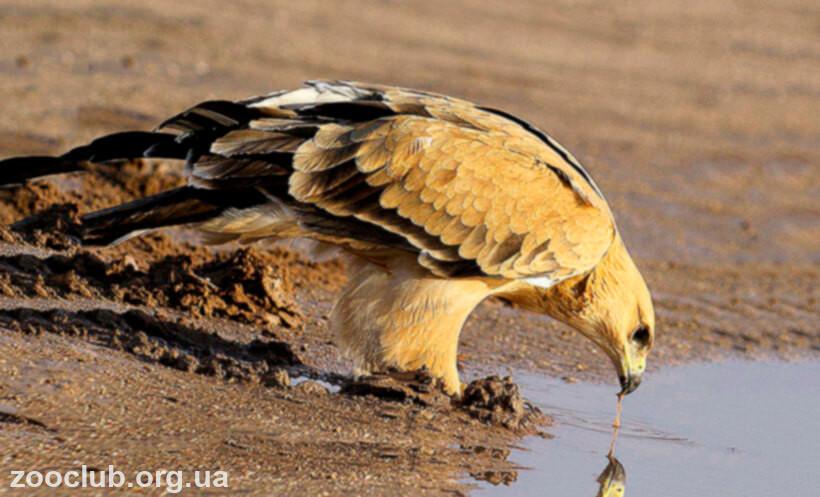 орел каменный фото