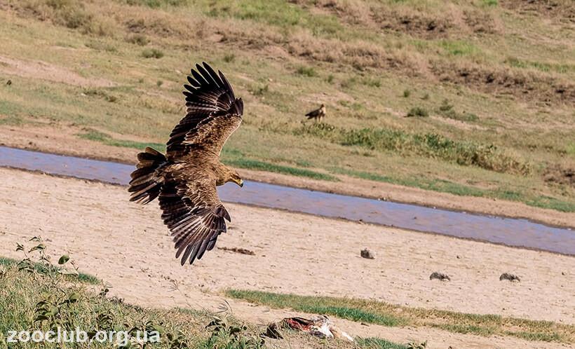 фото орла каменного