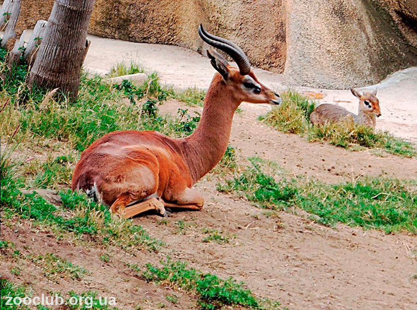 Фото жирафовой газели