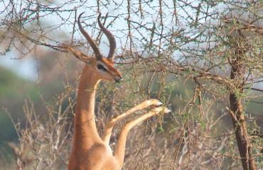 Жирафовая газель, или геренук