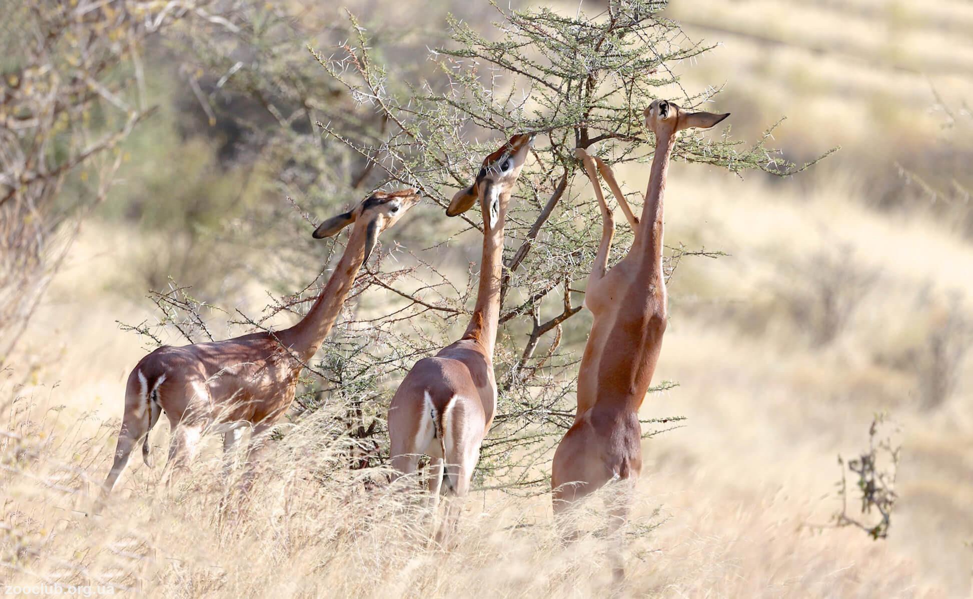 Жирафовая газель фото