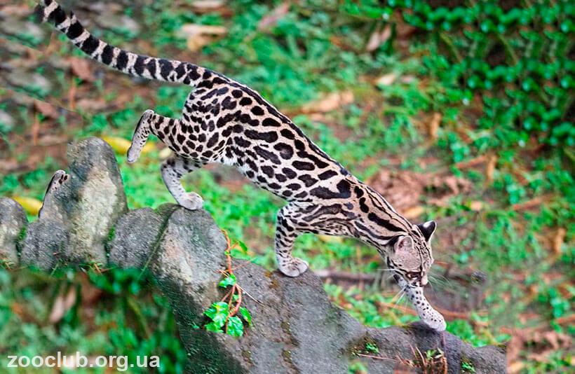 длиннохвостая кошка фото
