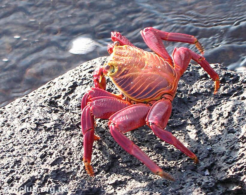 Красный скальный краб фото