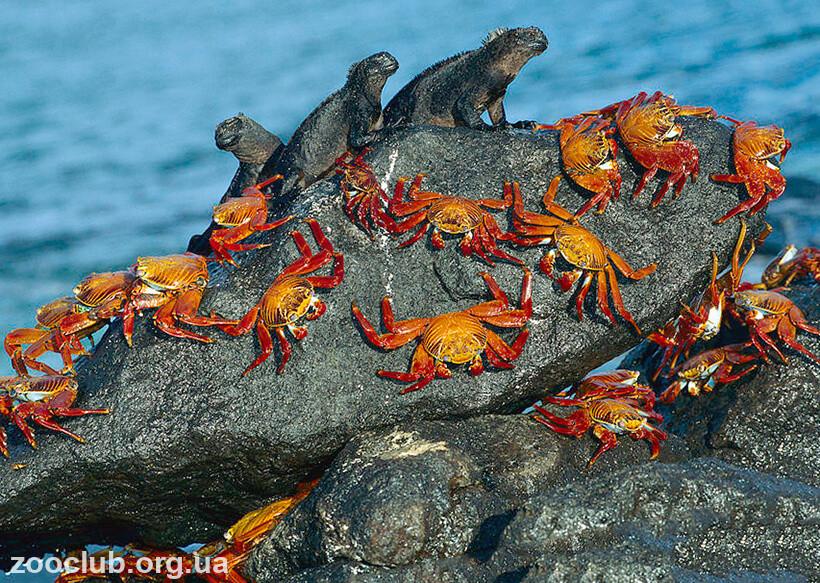 Фото красного скального краба