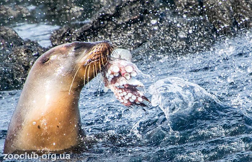 Фото льва галапагоского морского