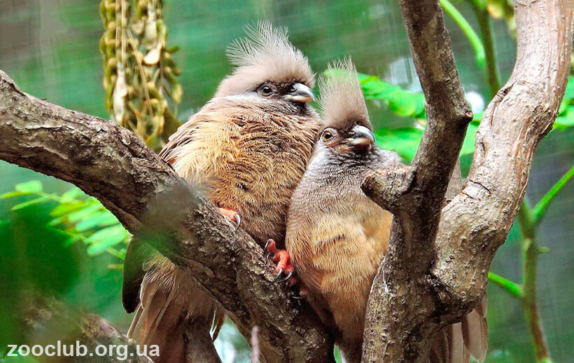 Птица-мышь бурокрылая фото