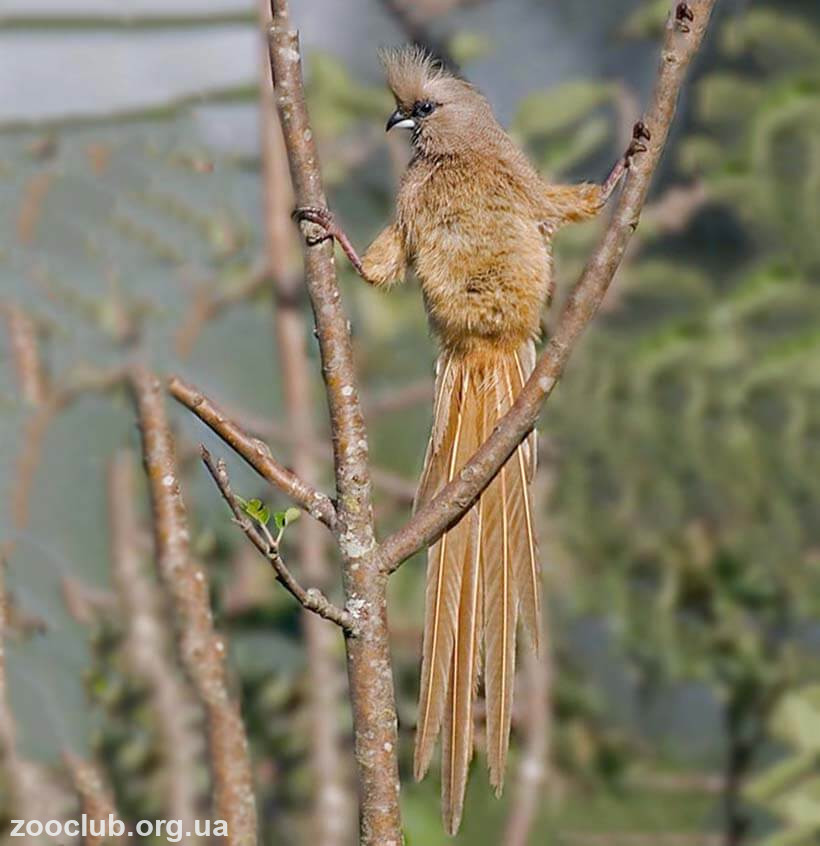 Фото птицы-мыши бурокрылой