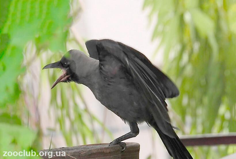 Блестящий ворон фото