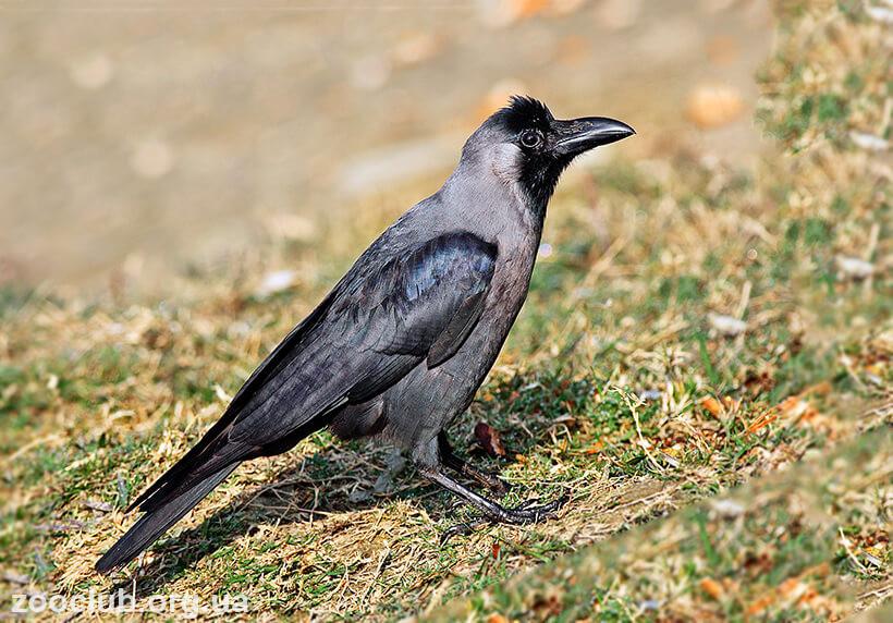 Фото блестящего ворона