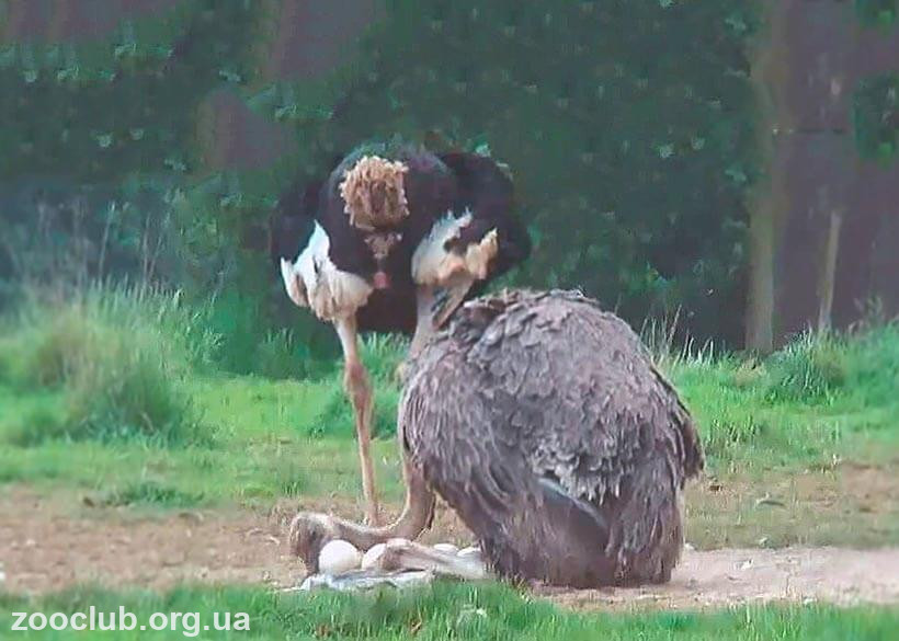 Strutio camelus