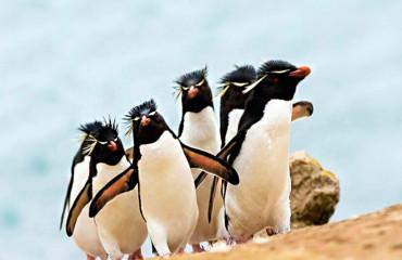 Хохлатый пингвин, или скалистый златовласый пингвин