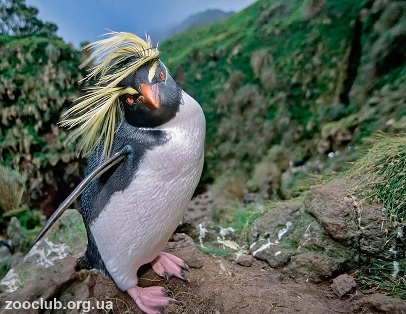 Фото скалистого златовласого пингвина