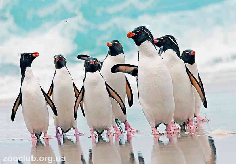 Фото хохлатого пингвина