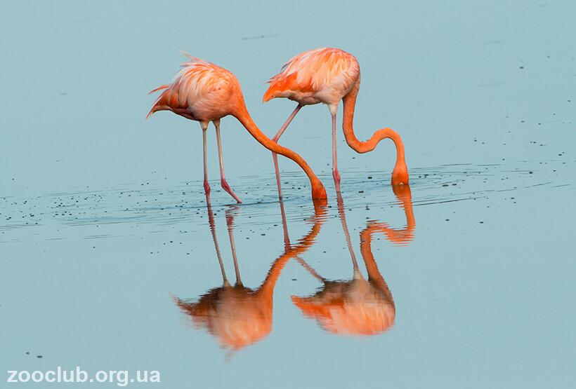 Фото фламинго красного