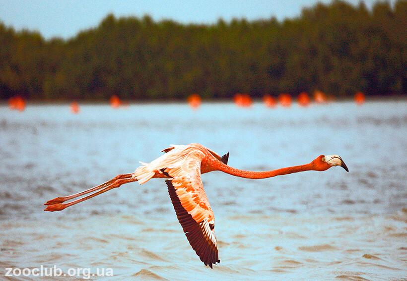 Фламинго красный фото