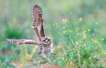 Кроличий сыч, или кроликовая сова