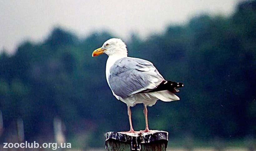 Фото серебристой чайки