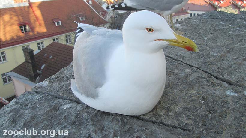 Серебристая чайка фото