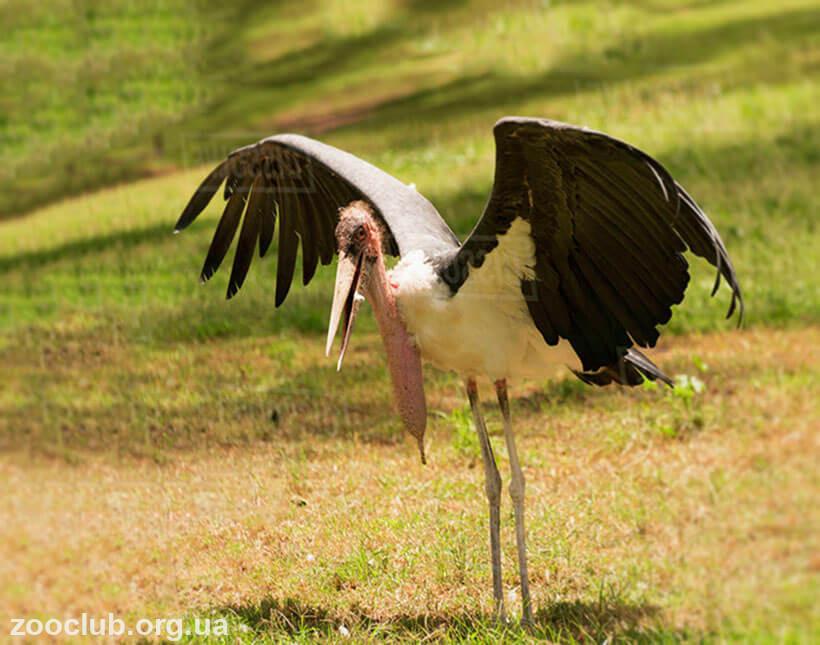 Марабу африканский птица