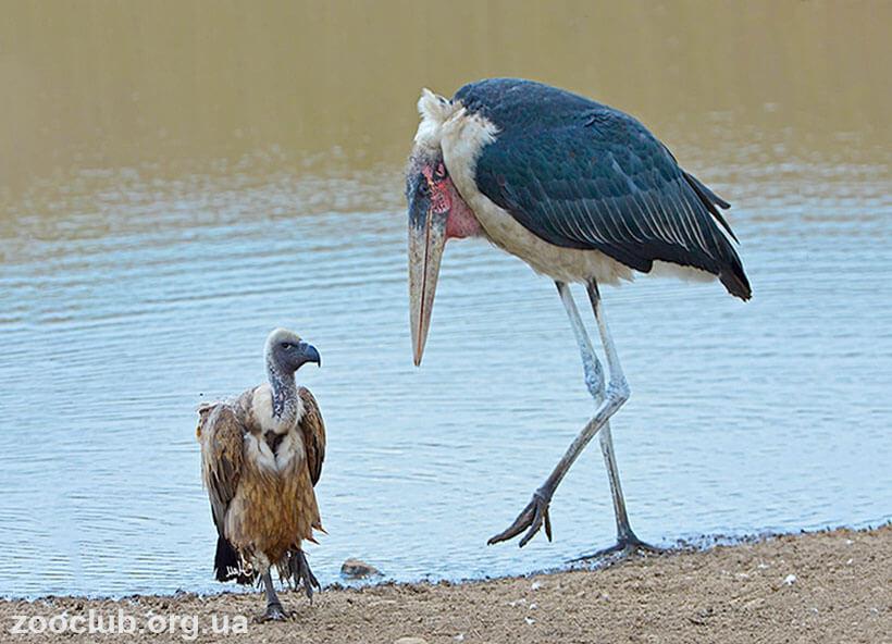 Фото африканского марабу