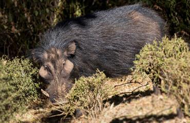 Африканская большая лесная свинья