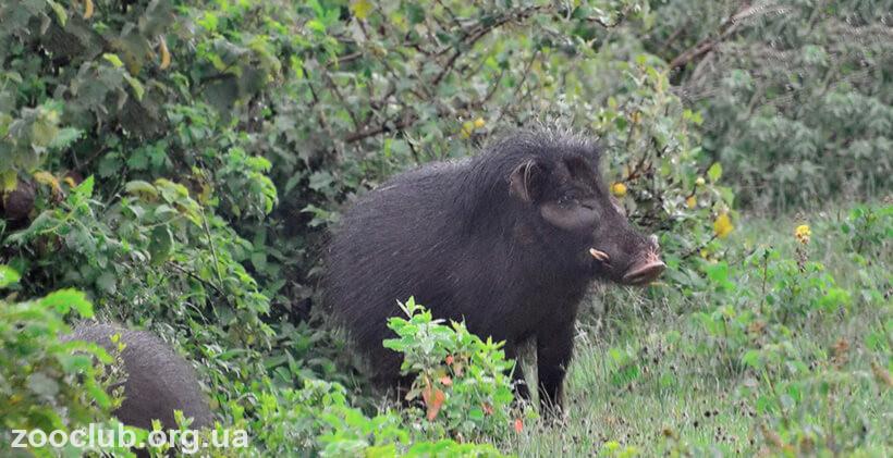 фото свиньи африканской большой лесной