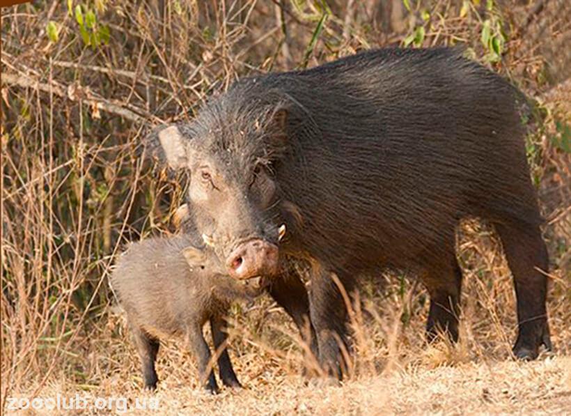 Фото африканской большой лесной свиньи