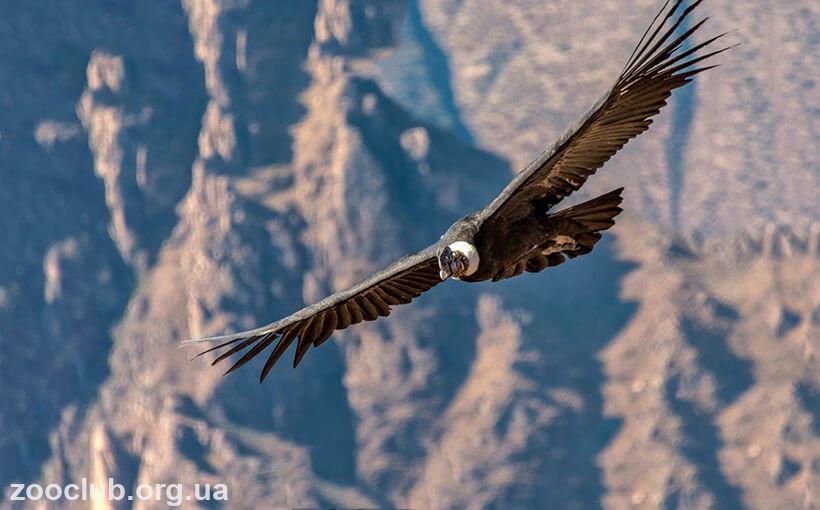 Фото Vultur gryphus