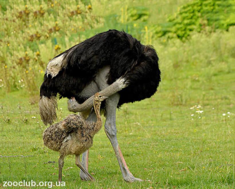 фото страуса южноафриканского