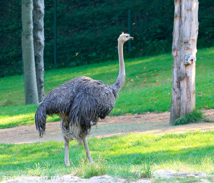 Южноафриканский страус фото