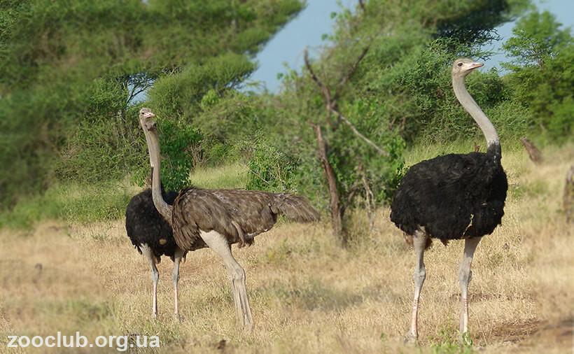 фото Struthio camelus australis