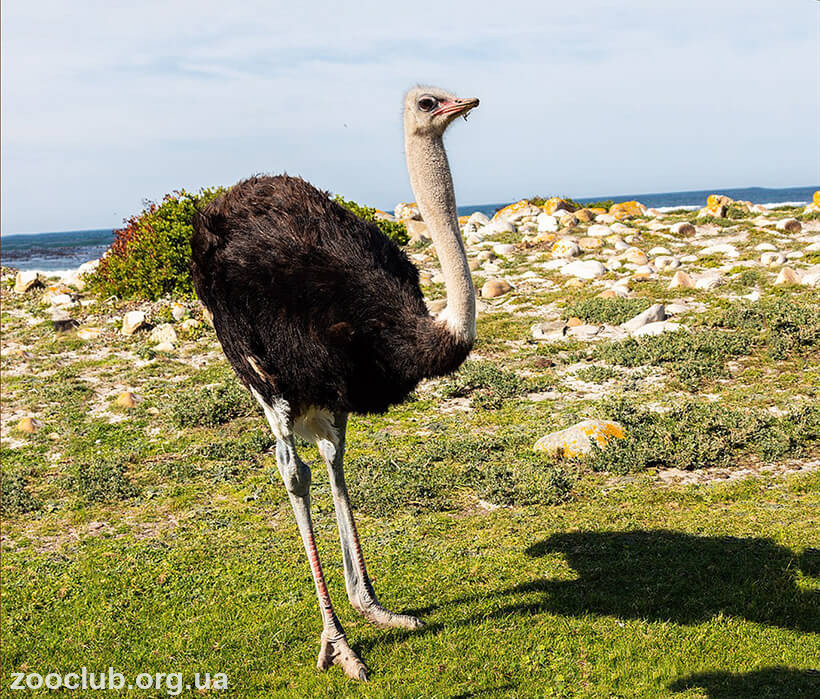 страус южноафриканский фото