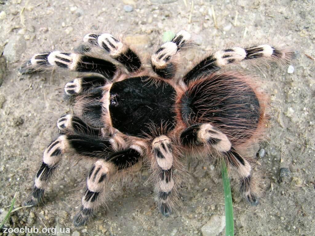 Бразильский черно-белый паук