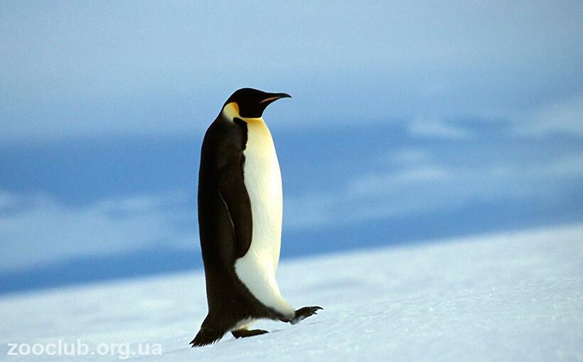 Императорский пингвин масса