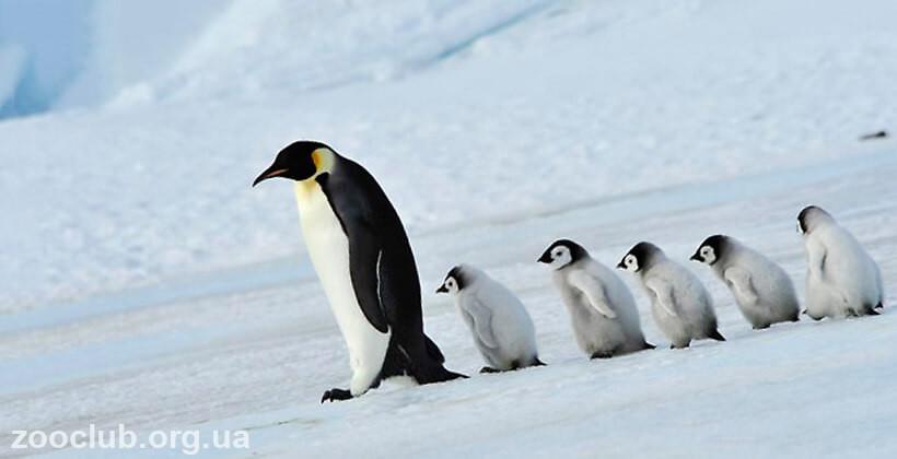 Императорский пингвин детёныш